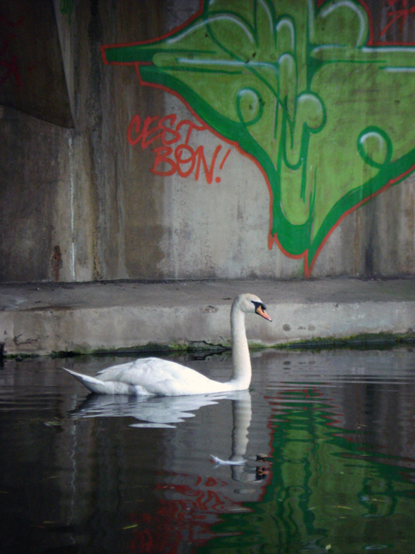 Swan travelling along the Regents Canal. Mile End Park, London 2008