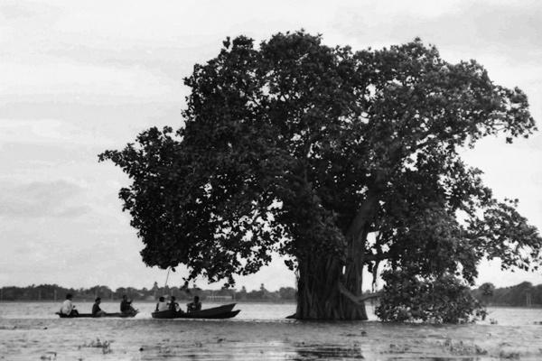 Tree on a flood plain outside Dhaka. Bangladesh 1996