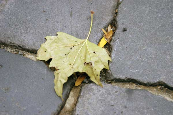 Leaf, New York 2005