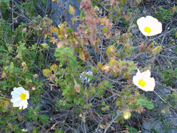 Wild flowers, Kyparissi, Greece 2009