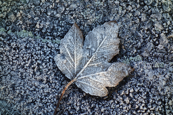 Fallen frozen leaf, Wavertree 2017