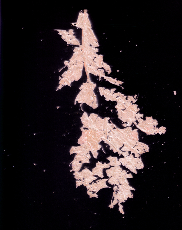 Disintegrating leaf. Photogram 2017.