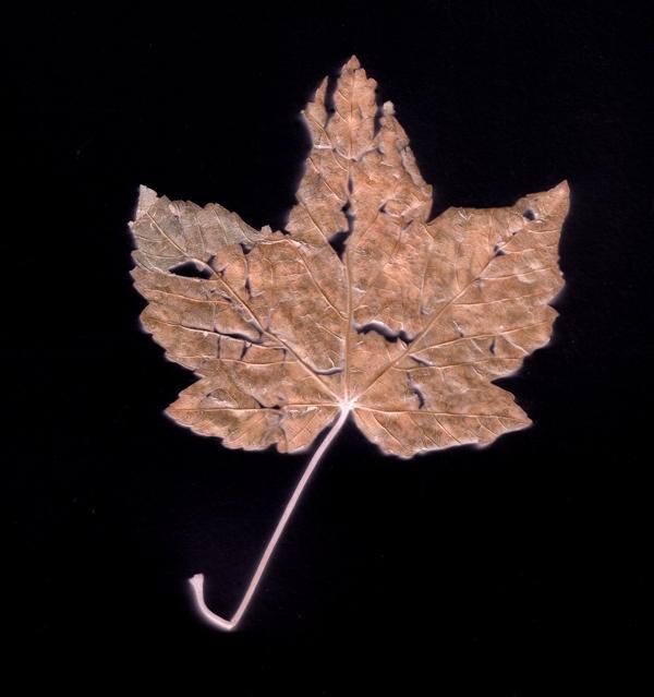 A leaf. Photogram 2017.