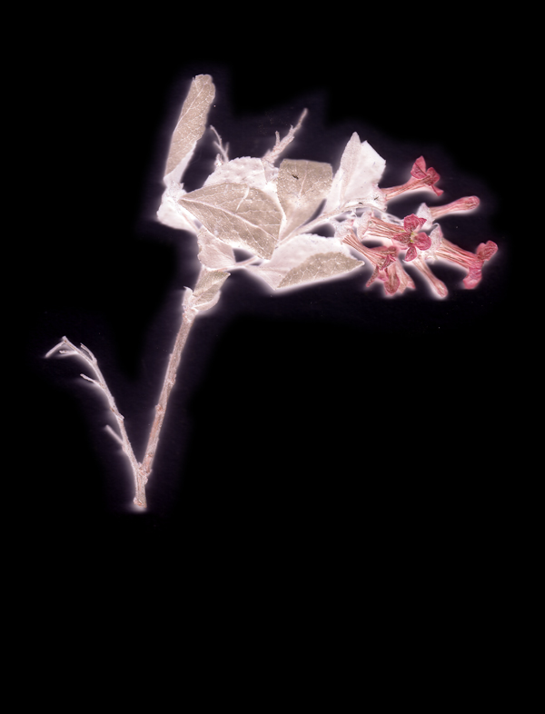 Decomposing flower. Photogram 2017.