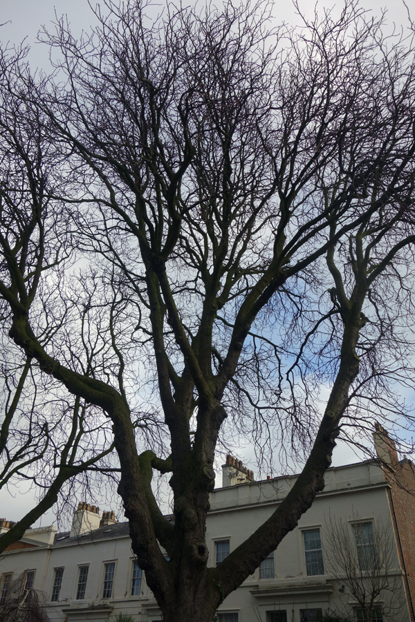 The oldest Chestnut tree in town. Liverpool January 2018.