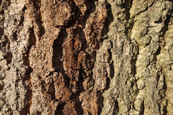 Tree bark in Wavertree Park. Liverpool January 2018.