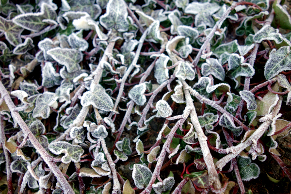 Frosted plant in Wavertree High Street. Liverpool, January 2017.