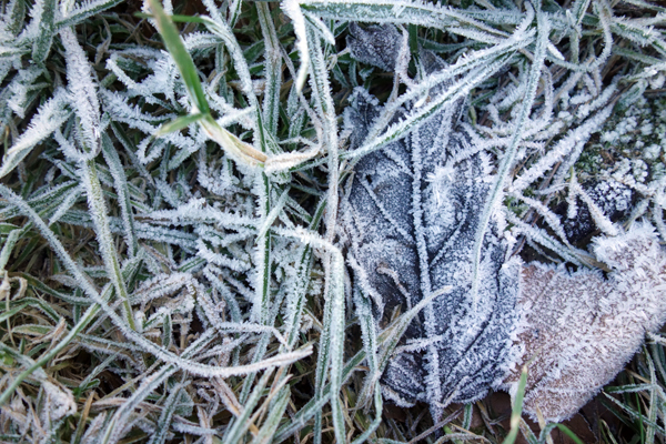 Frosted leaves and grass in Wavertree Park. Liverpool January 7th 2018.