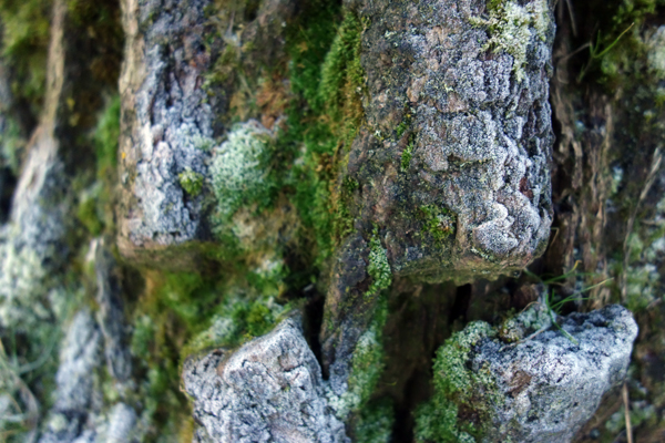 Frost and moss on the bark of a tree in Wavertree Park. Liverpool January 7th 2018.