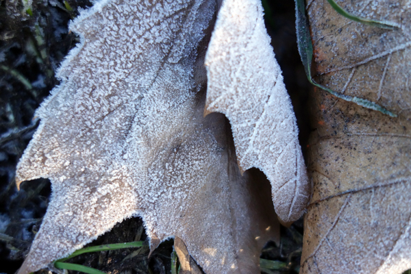 Frosted leaves in Wavertree Park. Liverpool January 7th 2018.