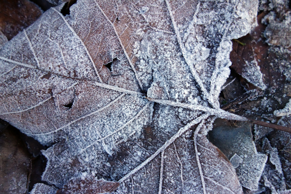 Frosted leaf in Wavertree Park. Liverpool January 7th 2018.