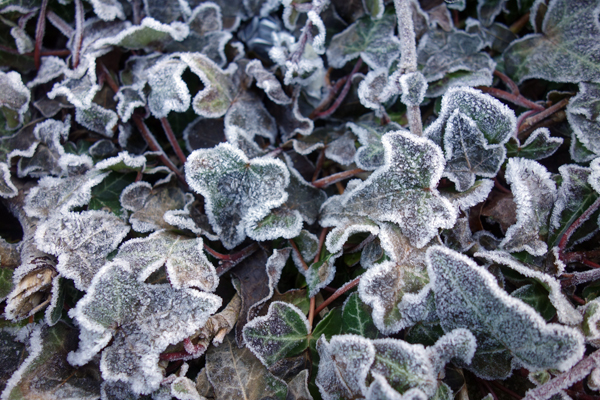 Plant with a coating of frost. Wavertree High Street. Liverpool January 2018.
