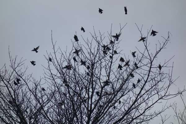 Birds on a tree in Wavertree Park. Liverpool January 2018.