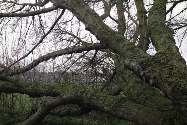 Fallen tree in Wavertree Park. January 2018.