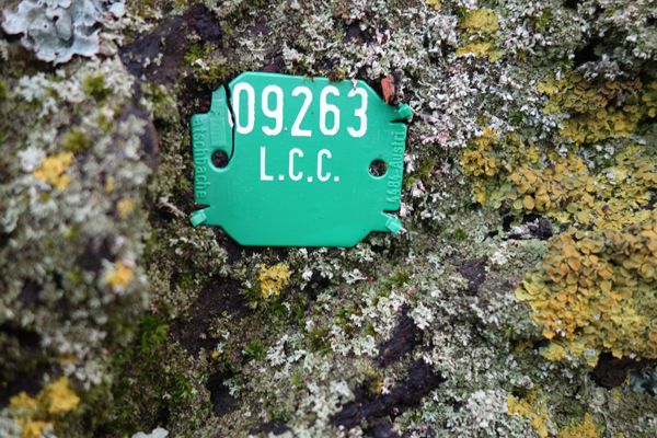 LCC tag on the the fallen tree in Wavertree Park. January 2018.